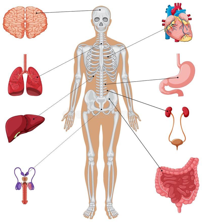 Ανθρώπινα όργανα στο άσπρο υπόβαθρο απεικόνιση αποθεμάτων