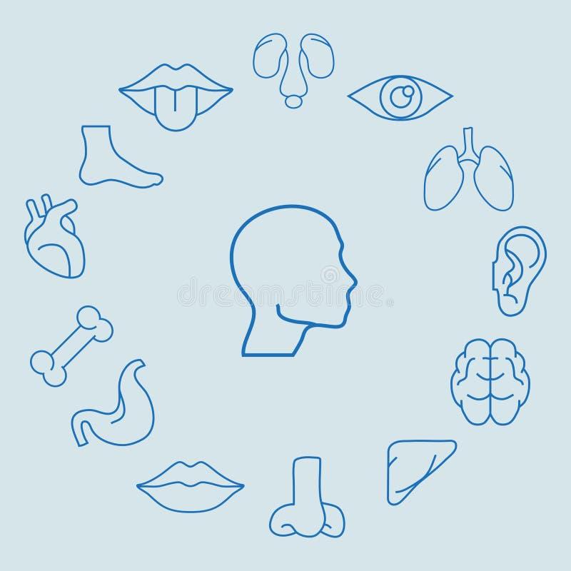 ανθρώπινα όργανα διανυσματική απεικόνιση