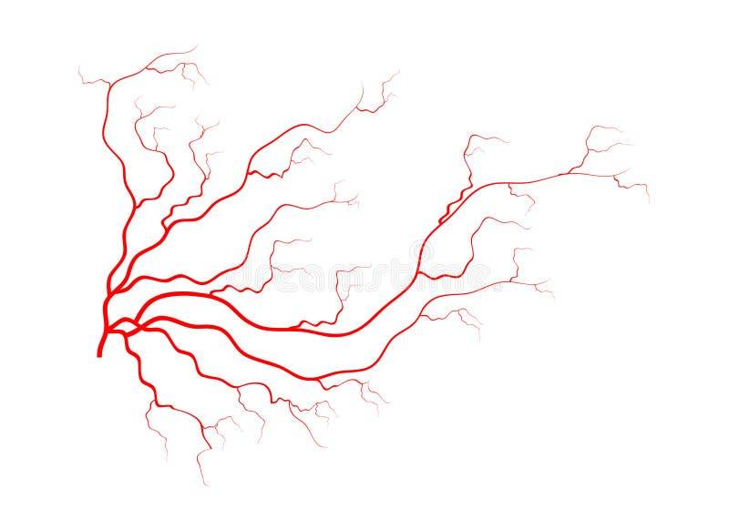 Ανθρώπινες φλέβες, κόκκινο σχέδιο αιμοφόρων αγγείων Διανυσματική απεικόνιση που απομονώνεται στην άσπρη ανασκόπηση απεικόνιση αποθεμάτων