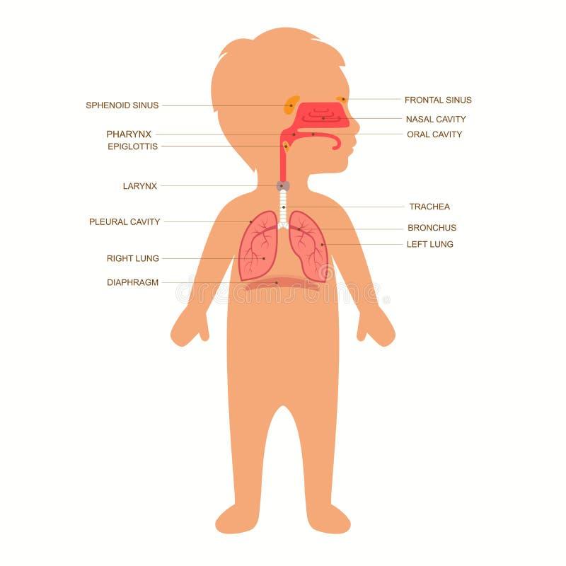 Ανθρώπινη ανατομία αναπνευστικών συστημάτων, διανυσματική απεικόνιση