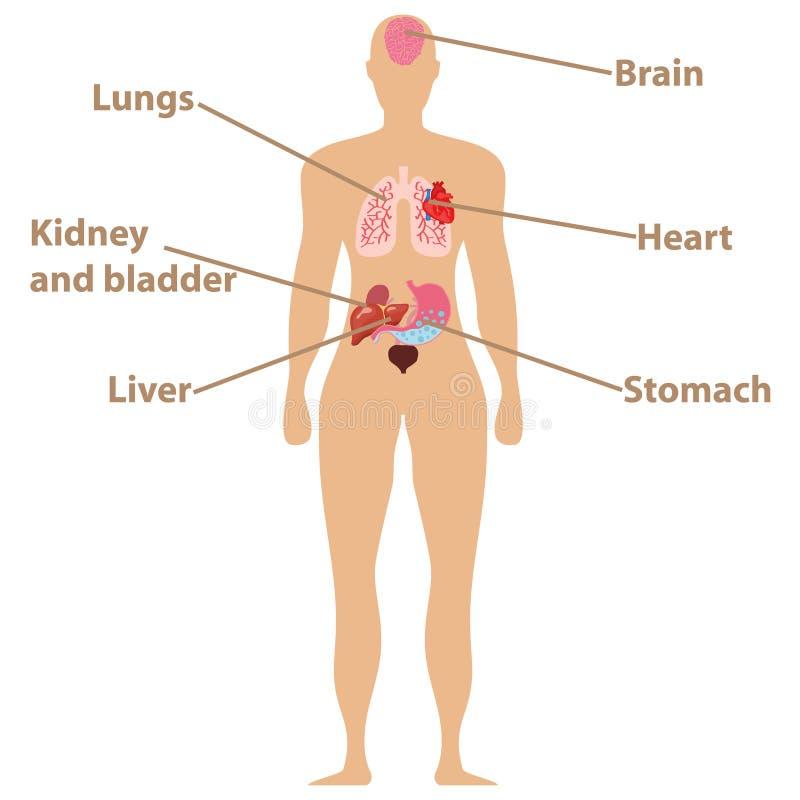Ανθρώπινη ανατομία Ανθρώπινα όργανα, καρδιά, εγκέφαλος, συκώτι, στομάχι, νεφρά διανυσματική απεικόνιση