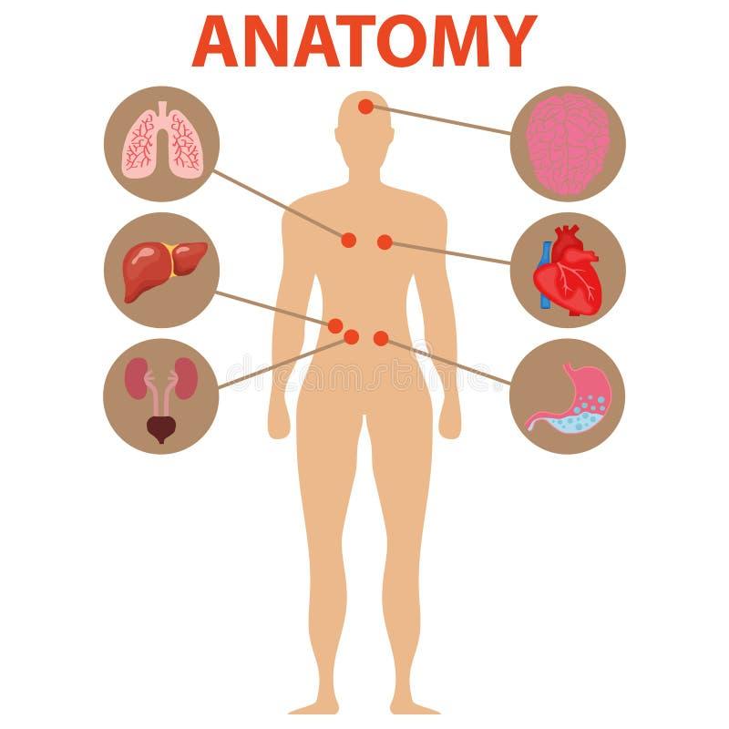 Ανθρώπινη ανατομία, ανθρώπινα όργανα Ο εγκέφαλος, καρδιά, στομάχι, πνεύμονες, συκώτι, νεφρά απεικόνιση αποθεμάτων