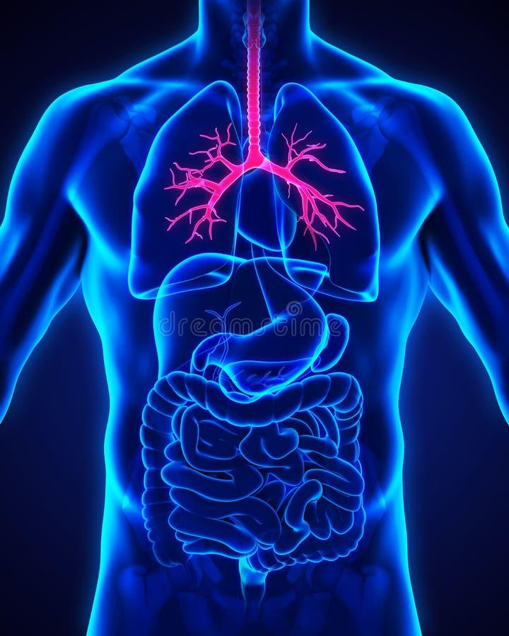 Ανθρώπινη ανατομία βρόγχων διανυσματική απεικόνιση