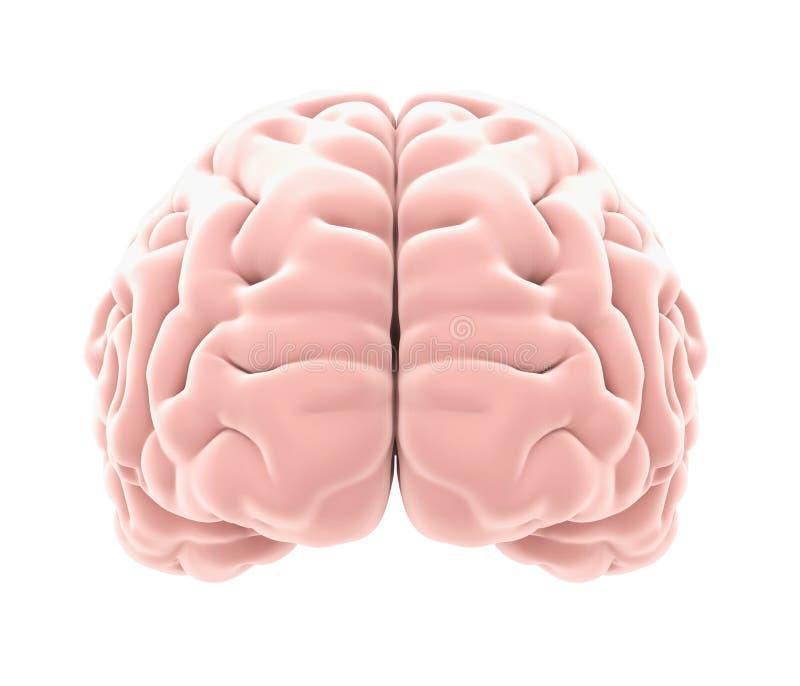 Ανθρώπινη ανατομία εγκεφάλου που απομονώνεται ελεύθερη απεικόνιση δικαιώματος