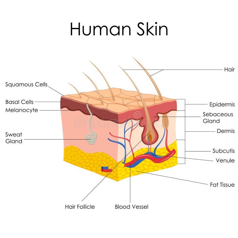Ανθρώπινη ανατομία δερμάτων διανυσματική απεικόνιση
