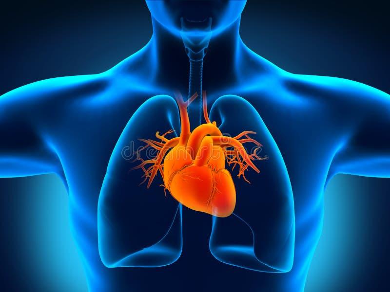 Ανθρώπινη ανατομία καρδιών διανυσματική απεικόνιση