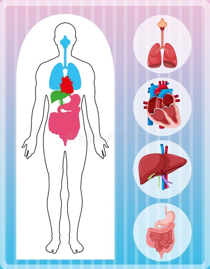 Ανθρώπινη ανατομία με πολλά όργανα απεικόνιση αποθεμάτων
