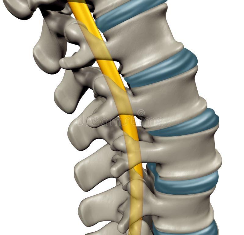 Ανθρώπινη ανατομία νωτιαίου μυελού διανυσματική απεικόνιση