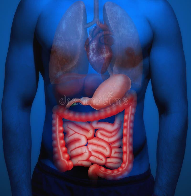 Ανθρώπινη ανατομία Το έντερο στοκ εικόνες με δικαίωμα ελεύθερης χρήσης