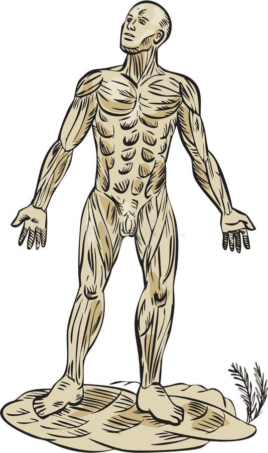 Ανθρώπινη ανατομία χαρακτική μυών απεικόνιση αποθεμάτων