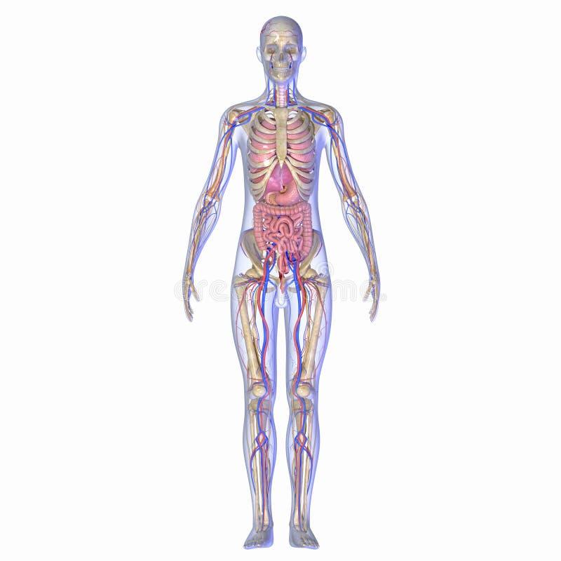 Ανθρώπινη ανατομία διανυσματική απεικόνιση