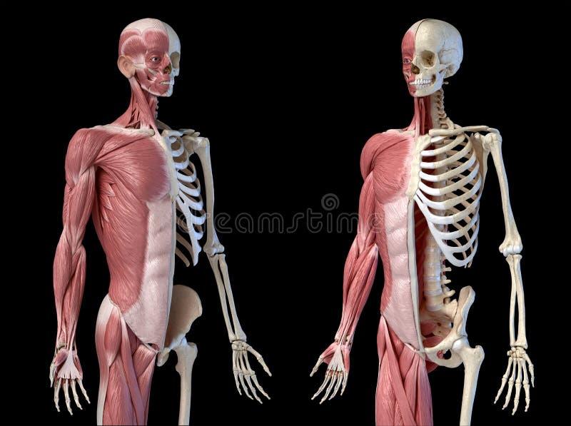 Ανθρώπινη ανδρική ανατομία, μυϊκό και σκελετικό σύστημα 3/4, διαπεραστικό δύο όψη της μετωπικής προοπτικής απεικόνιση αποθεμάτων
