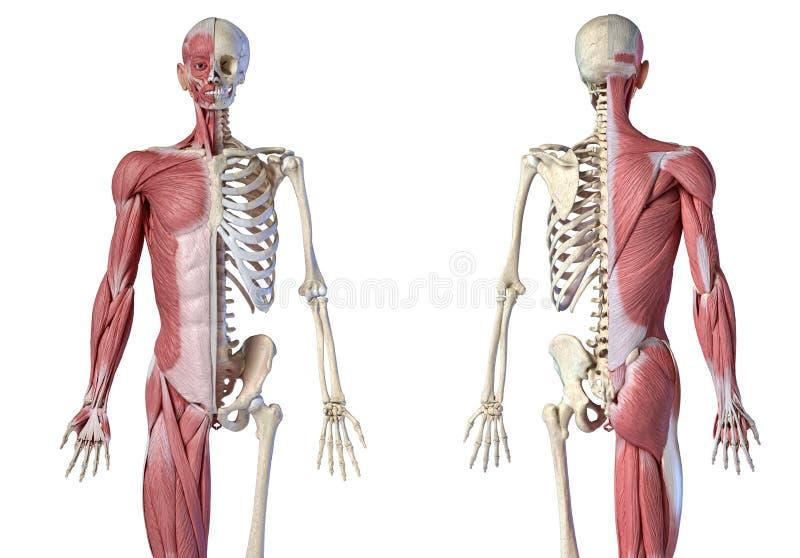 Ανθρώπινη ανδρική ανατομία, μυϊκό και σκελετικό σύστημα 3/4, εμπρόσθια και οπίσθια όψη ελεύθερη απεικόνιση δικαιώματος