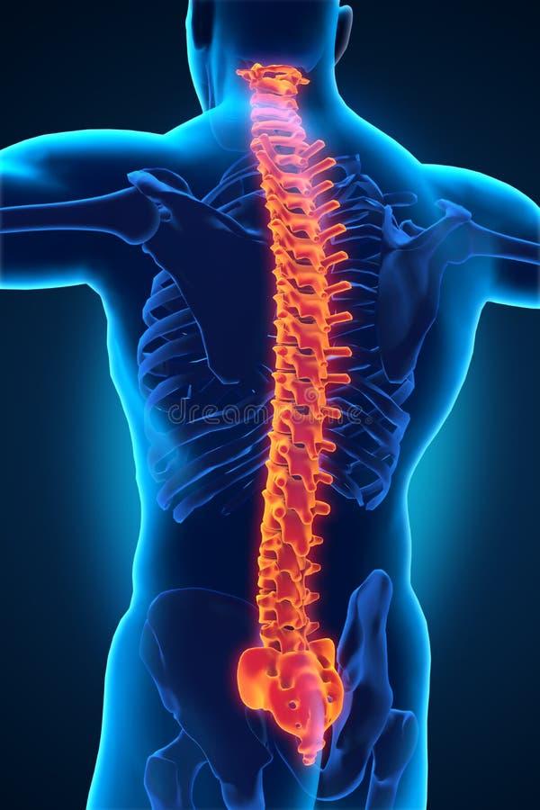 Ανθρώπινη αρσενική ανατομία σπονδυλικών στηλών διανυσματική απεικόνιση