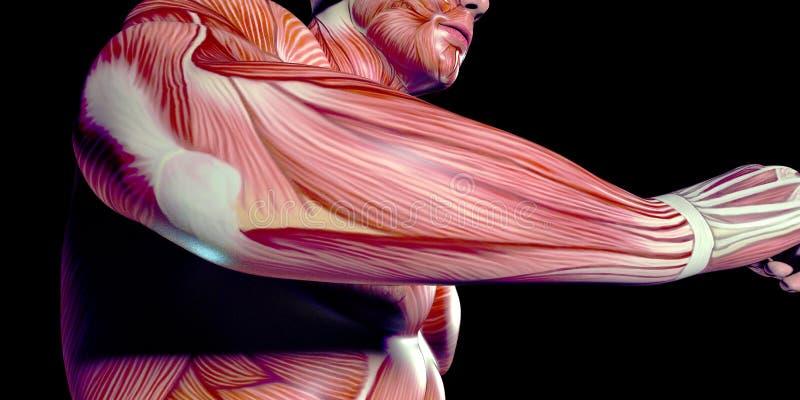 Ανθρώπινη αρσενική απεικόνιση ανατομίας σώματος του ανθρώπινου βραχίονα με τους ορατούς μυς στοκ εικόνες