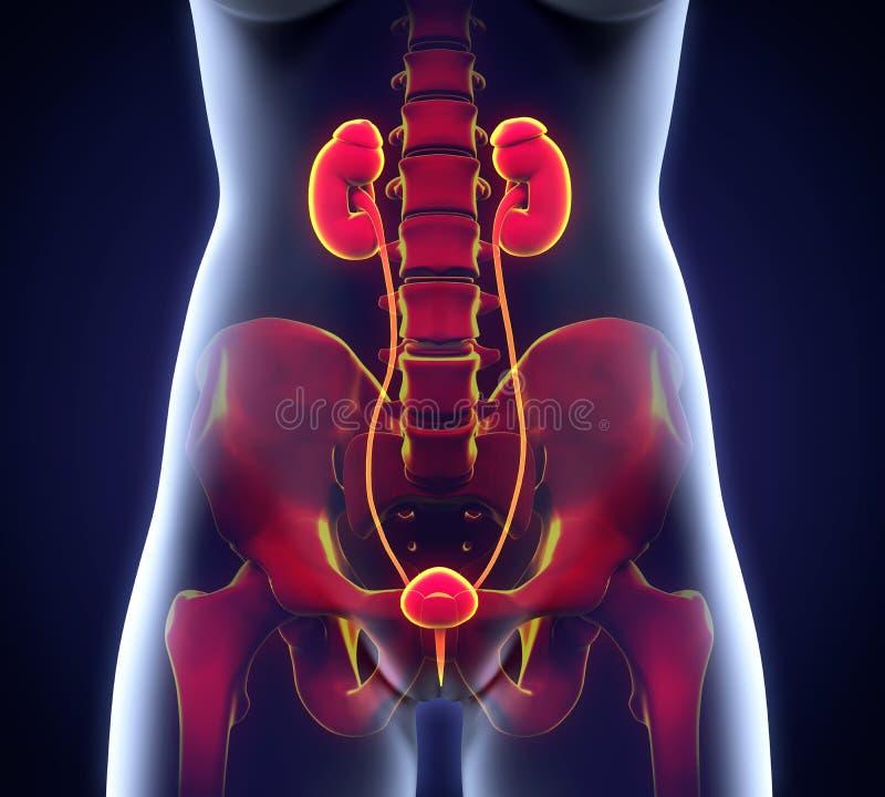 Ανθρώπινη θηλυκή ανατομία νεφρών διανυσματική απεικόνιση