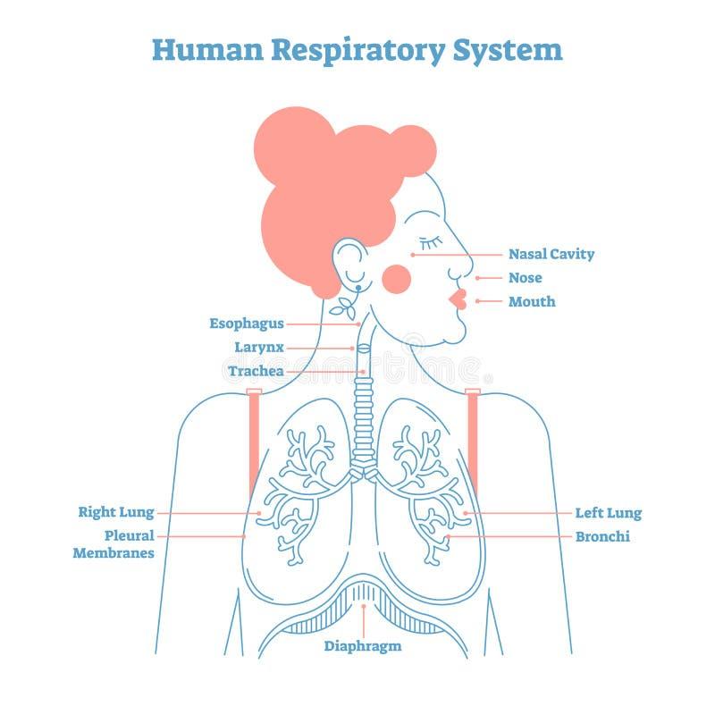 Ανθρώπινη καλλιτεχνική διανυσματική απεικόνιση ύφους γραμμών αναπνευστικών συστημάτων ανατομική, ιατρικό διάγραμμα διατομής εκπαί διανυσματική απεικόνιση