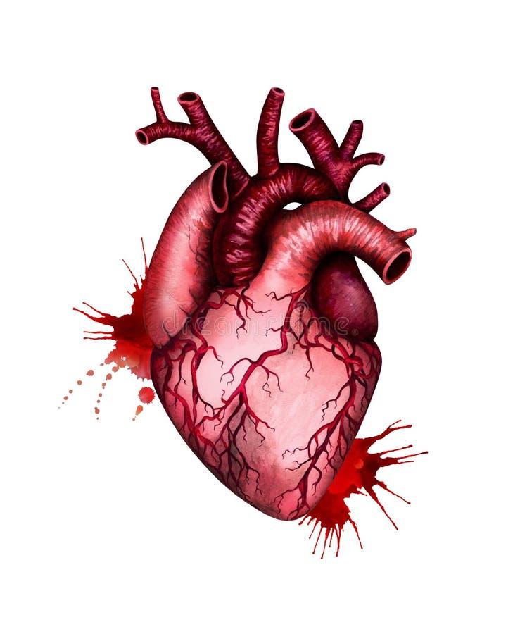 Ανθρώπινη καρδιά με τους παφλασμούς αίματος που απομονώνονται στο άσπρο υπόβαθρο m ελεύθερη απεικόνιση δικαιώματος