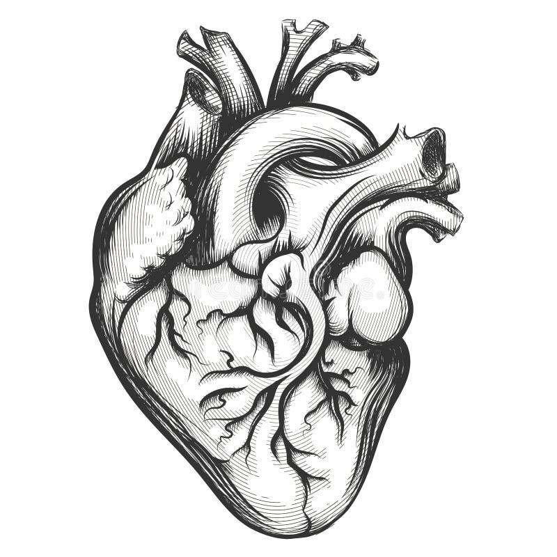 Ανθρώπινη καρδιά απεικόνιση αποθεμάτων