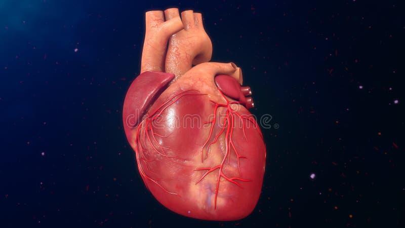 Ανθρώπινη καρδιά ελεύθερη απεικόνιση δικαιώματος
