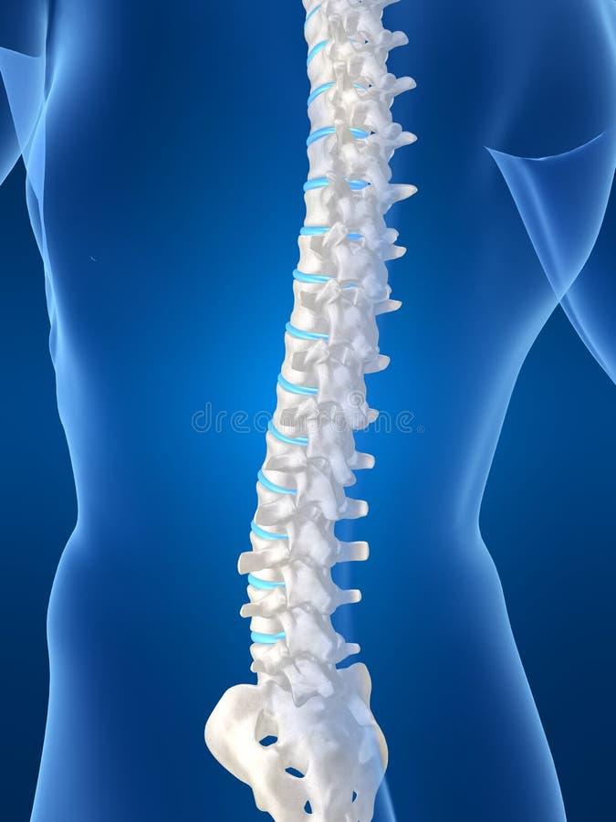 ανθρώπινη σπονδυλική στήλ&e ελεύθερη απεικόνιση δικαιώματος