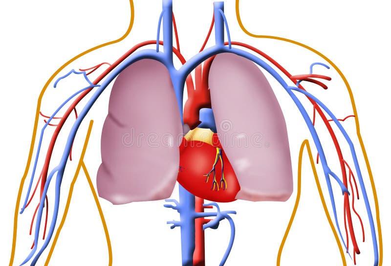 ανθρώπινοι πνεύμονες καρ&del διανυσματική απεικόνιση