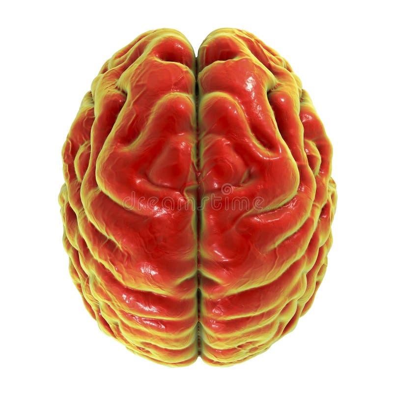 Ανθρώπινος εγκέφαλος, τοπ άποψη απεικόνιση αποθεμάτων