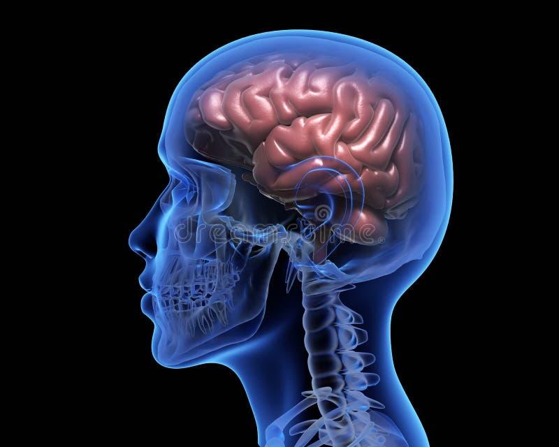 Ανθρώπινος εγκέφαλος ελεύθερη απεικόνιση δικαιώματος