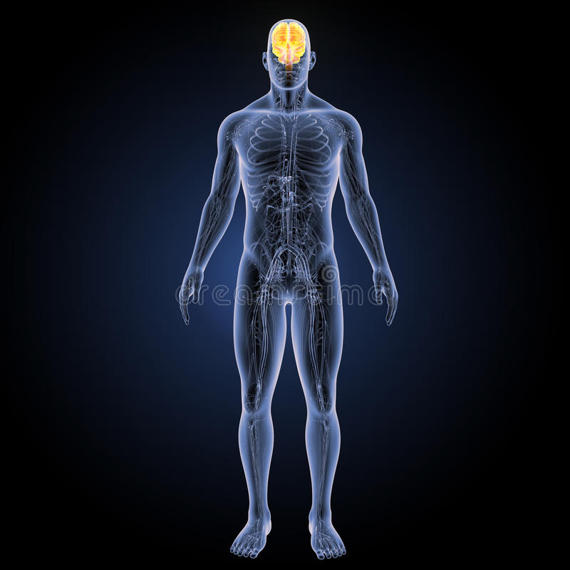 Ανθρώπινος εγκέφαλος με την προηγούμενη άποψη κυκλοφοριακών συστημάτων ελεύθερη απεικόνιση δικαιώματος