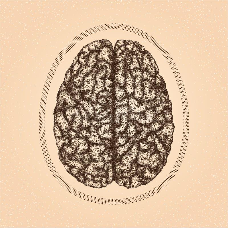 Ανθρώπινος εγκέφαλος Τοπ όψη απεικόνιση αποθεμάτων