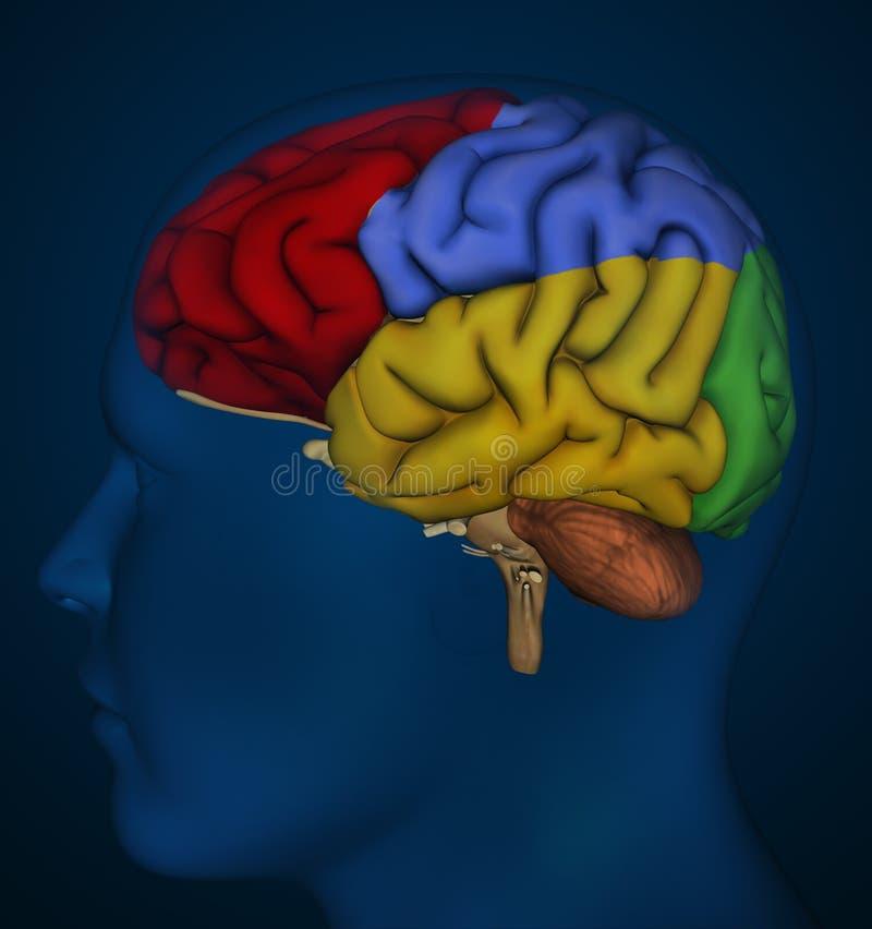 Ανθρώπινος εγκέφαλος απεικόνιση αποθεμάτων