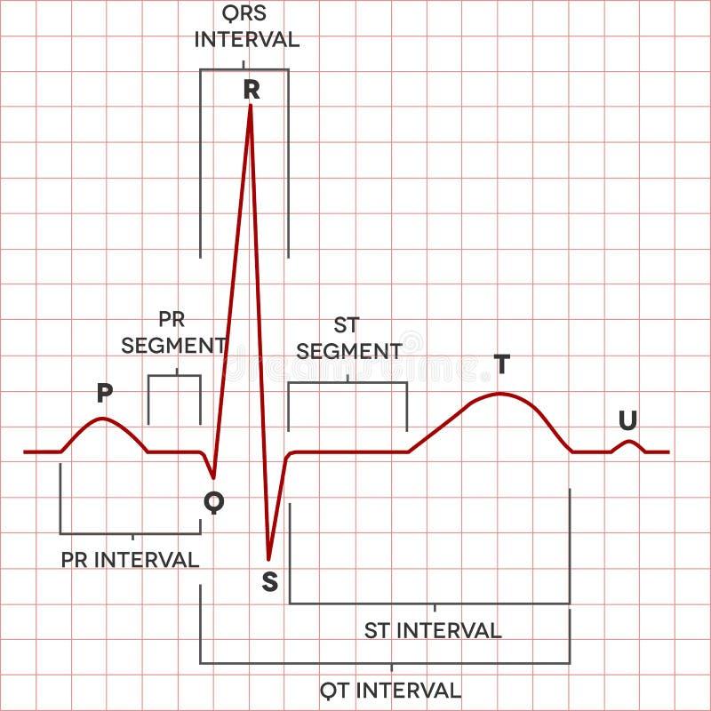 Ανθρώπινος ρυθμός κόλπων καρδιών κανονικός, ηλεκτροκαρδιογράφημα διανυσματική απεικόνιση