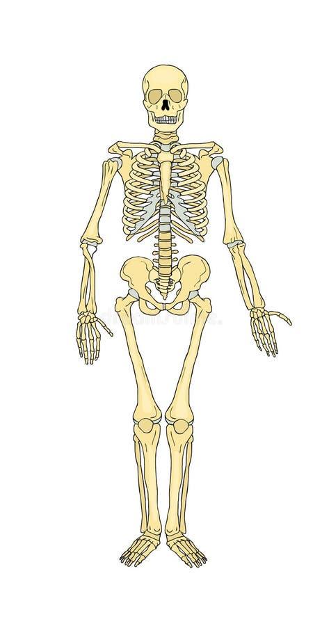 ανθρώπινος σκελετός Οστεο-μυικό σύστημα boniface διάνυσμα ελεύθερη απεικόνιση δικαιώματος