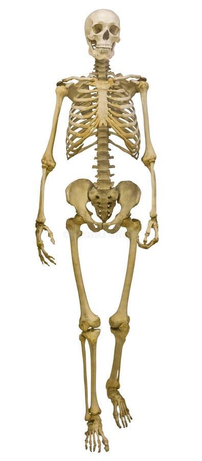 Ενιαίος ανθρώπινος σκελετός στο λευκό στοκ φωτογραφία με δικαίωμα ελεύθερης χρήσης
