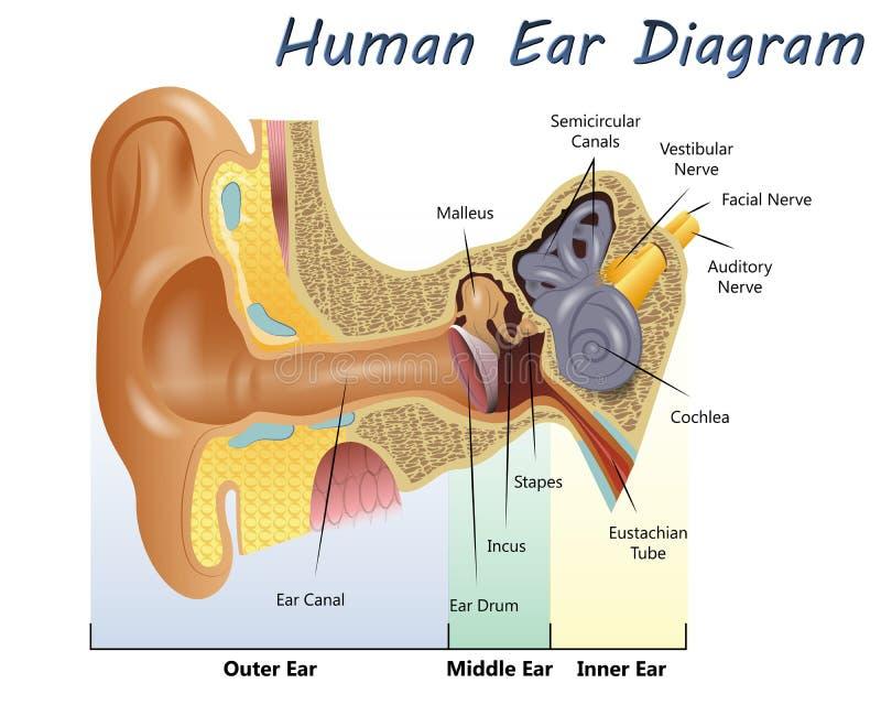 Ανθρώπινο διάγραμμα αυτιών στοκ εικόνες
