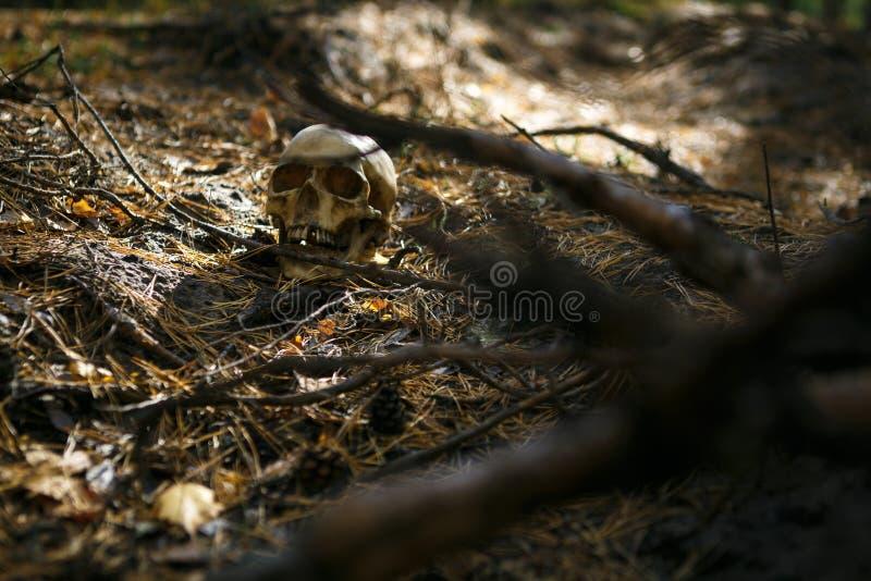 Ανθρώπινο κρανίο στο δάσος στο έδαφος κοντά στον κορμό δέντρων, που ψεκάζεται με τις βελόνες πεύκων και που φωτίζεται από μια ακτ στοκ φωτογραφία