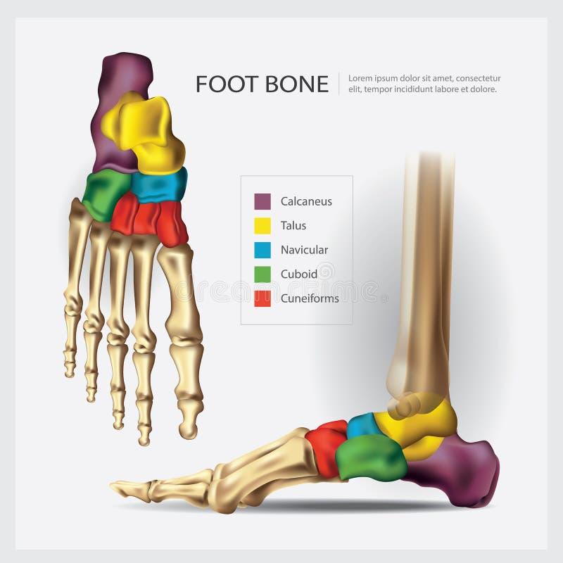 Ανθρώπινο κόκκαλο ποδιών ανατομίας διανυσματική απεικόνιση