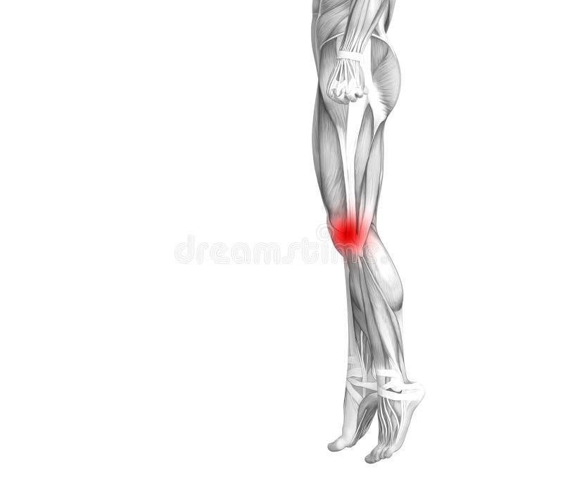Ανθρώπινο κόκκινο ανατομίας γονάτων - ανάφλεξη καυτών σημείων ελεύθερη απεικόνιση δικαιώματος