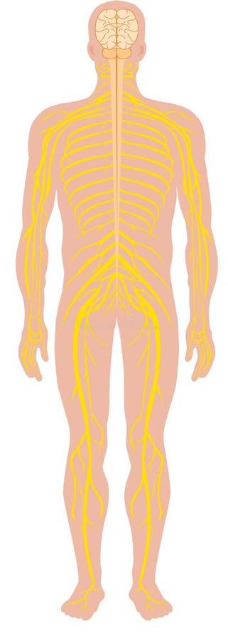 ανθρώπινο νευρικό σύστημα διανυσματική απεικόνιση