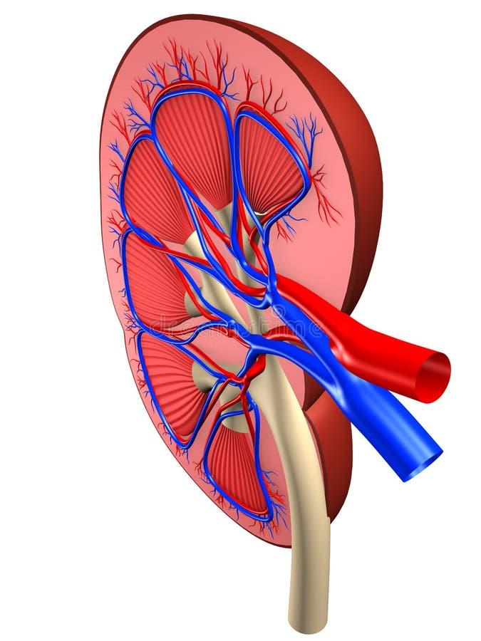 ανθρώπινο νεφρό απεικόνιση αποθεμάτων