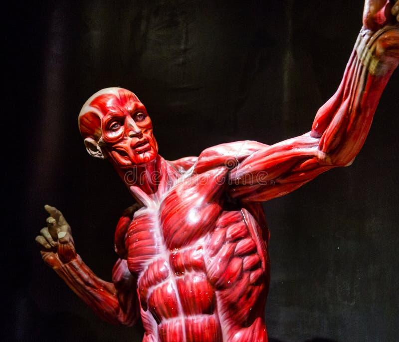 Ανθρώπινο πρότυπο ανατομίας μυών στο Μαύρο στοκ φωτογραφία με δικαίωμα ελεύθερης χρήσης