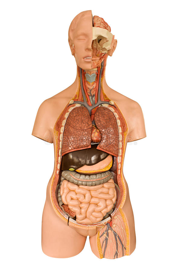 Ανθρώπινο πρότυπο ανατομίας στοκ εικόνες με δικαίωμα ελεύθερης χρήσης