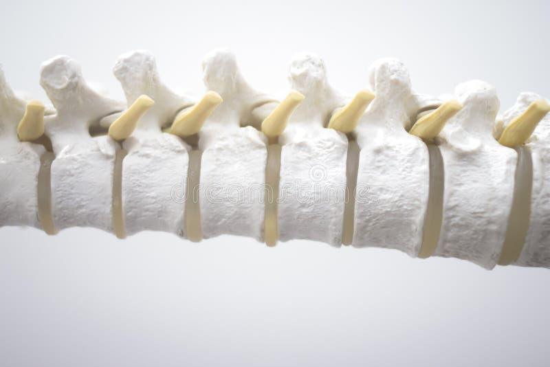 Ανθρώπινο πρότυπο σπονδύλων στηλών σπονδυλικών στηλών στοκ φωτογραφίες
