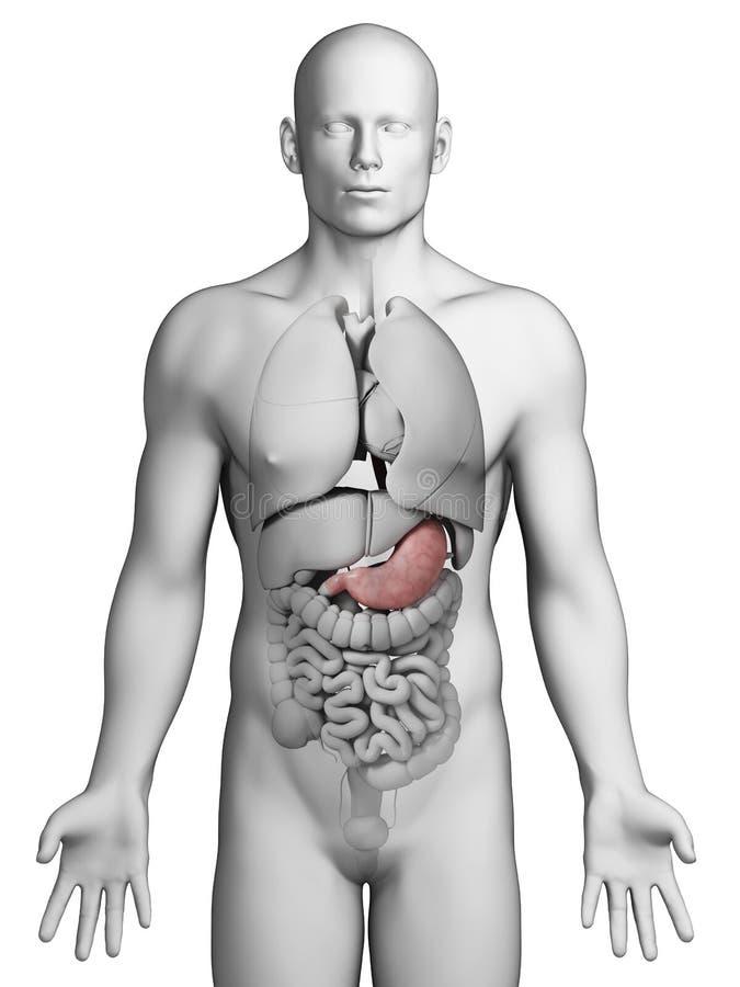 Ανθρώπινο στομάχι διανυσματική απεικόνιση