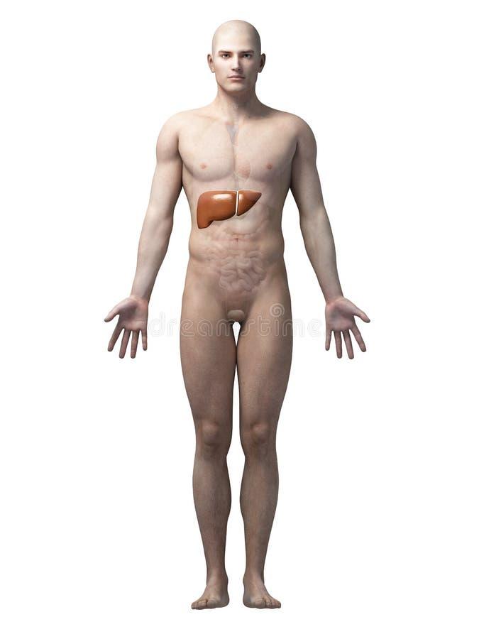 ανθρώπινο συκώτι απεικόνιση αποθεμάτων