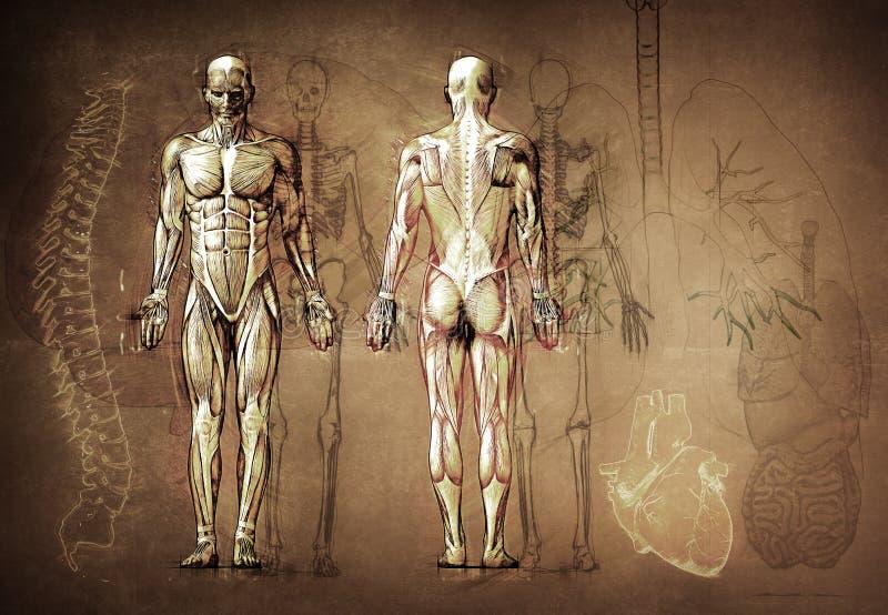 Ανθρώπινο σχέδιο ανατομίας διανυσματική απεικόνιση