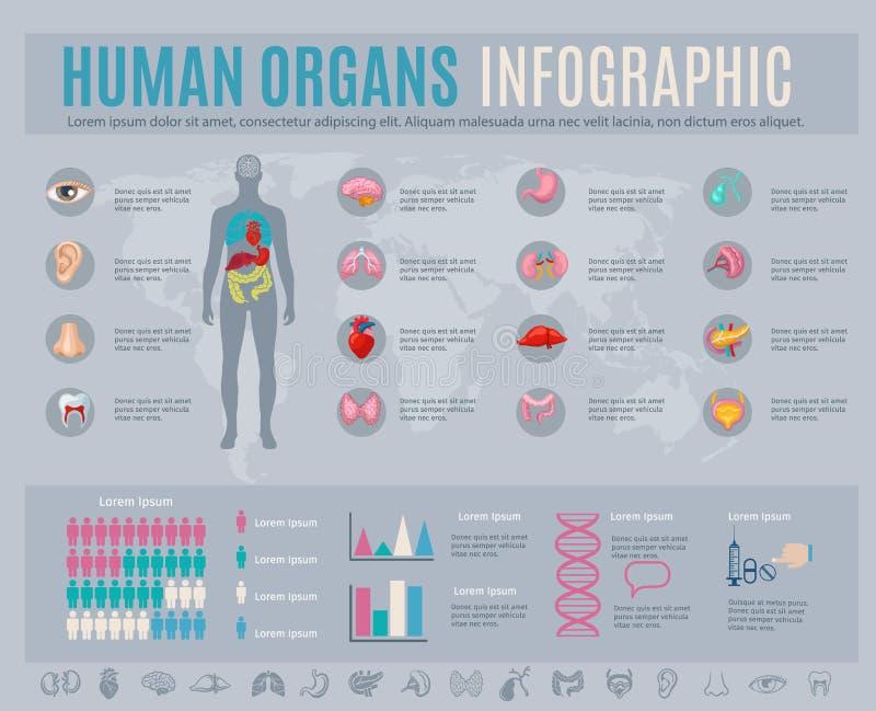 Ανθρώπινο σύνολο Infographic οργάνων διανυσματική απεικόνιση