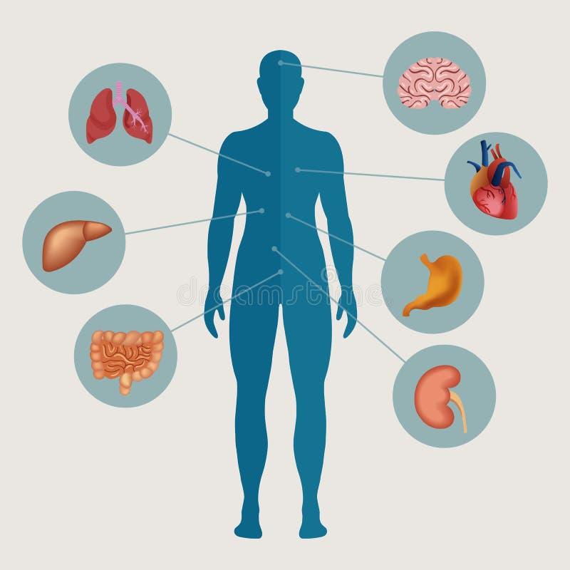 Ανθρώπινο σώμα με τα εσωτερικά όργανα ελεύθερη απεικόνιση δικαιώματος