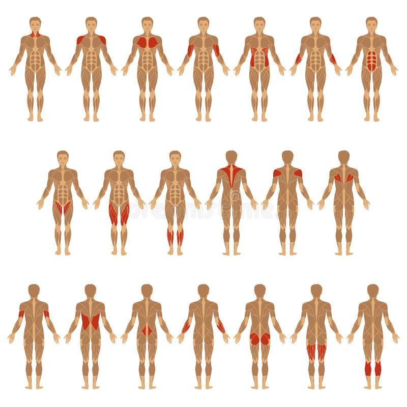 Ανθρώπινο σώμα, μυς ελεύθερη απεικόνιση δικαιώματος