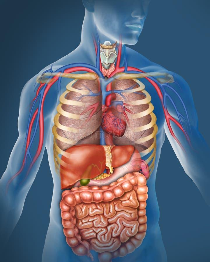 Ανθρώπινο σώμα ελεύθερη απεικόνιση δικαιώματος